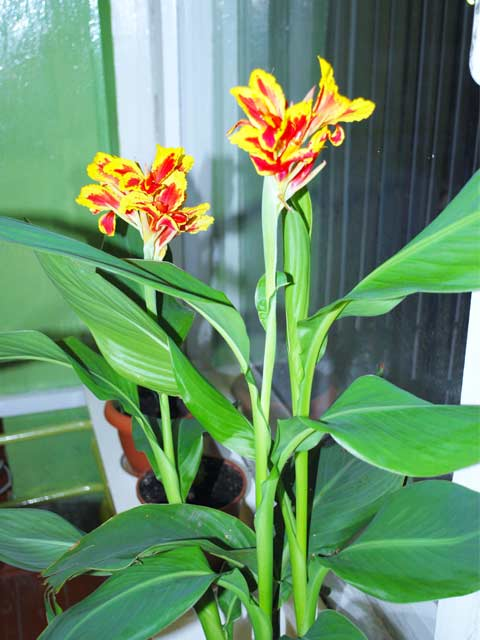 Канна цветок в домашних условиях